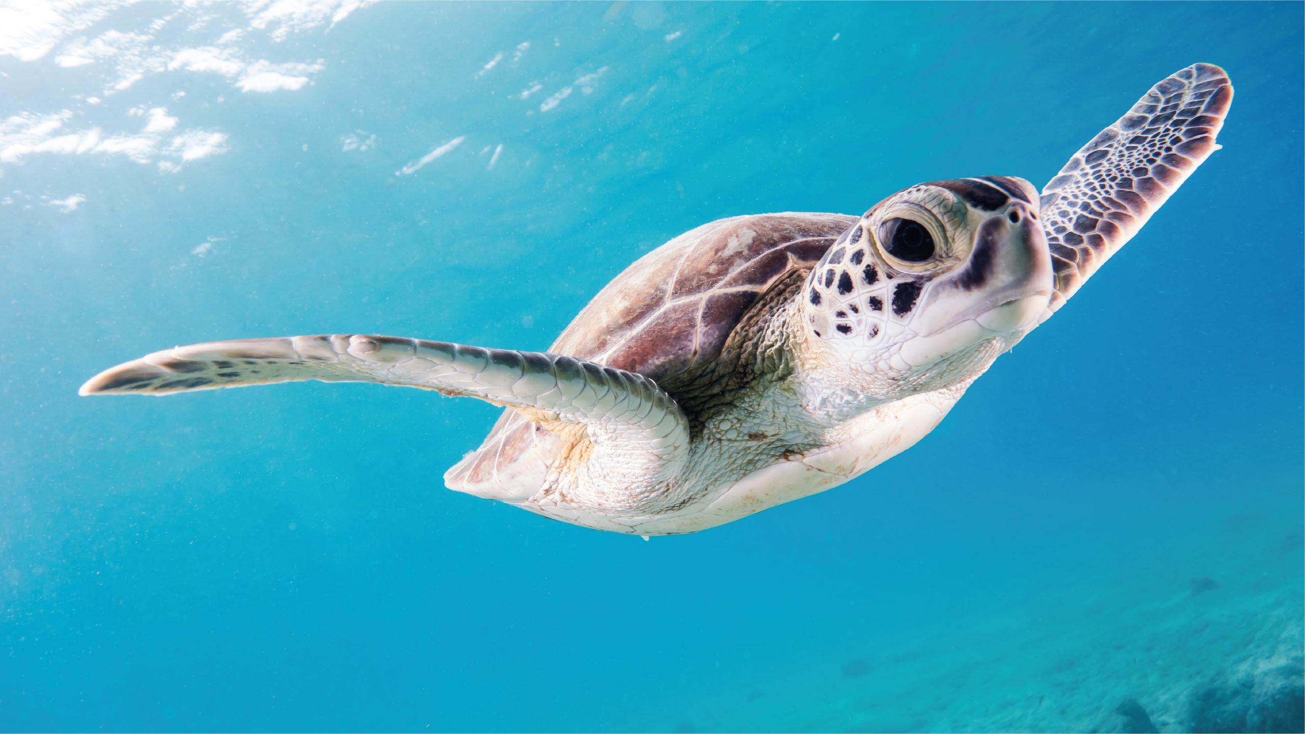 Tortugas jóvenes están más expuestas a la ingesta de plásticos