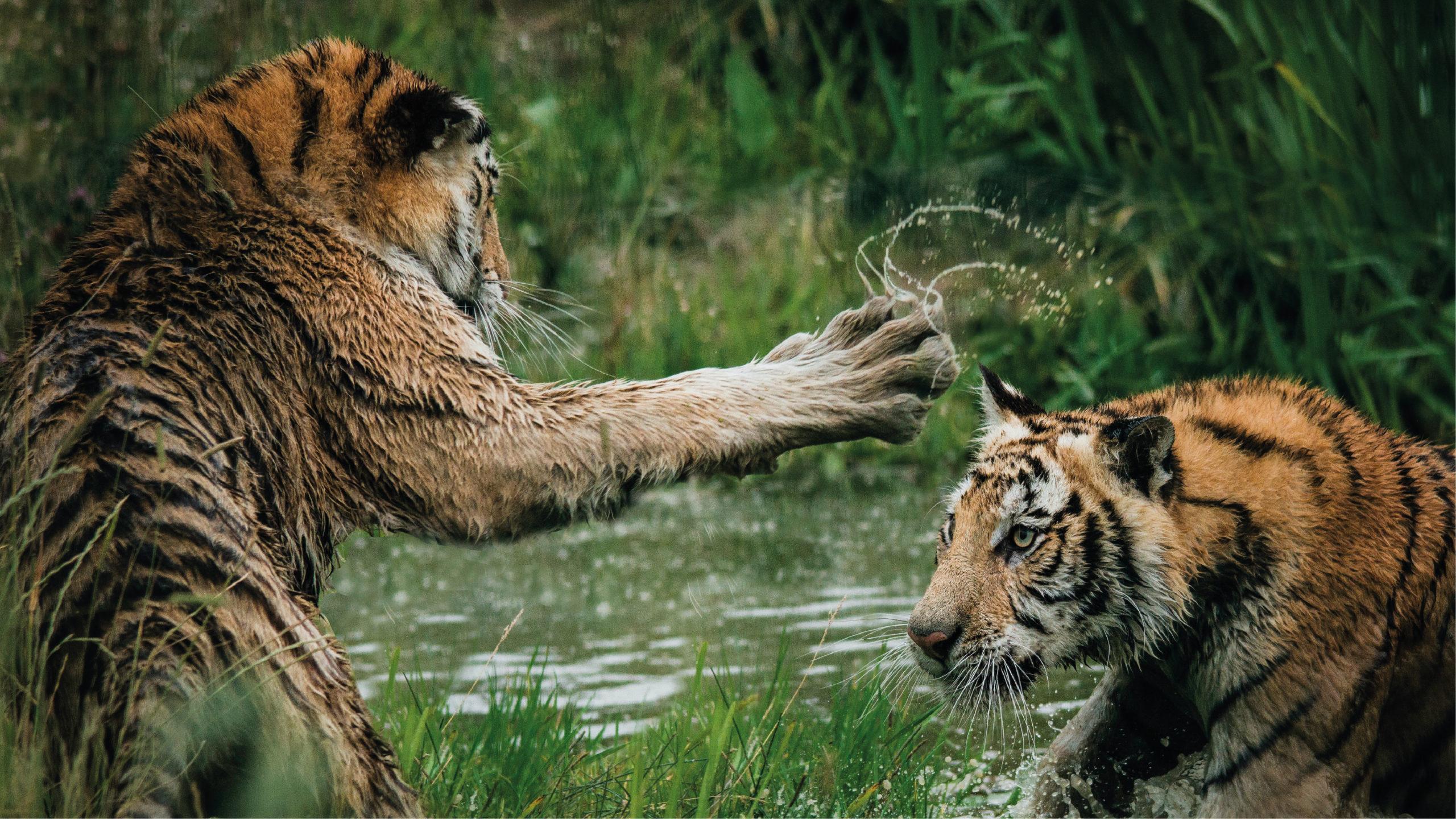 Indonesia investiga contagio por Covid-19 en dos tigres de Sumatra