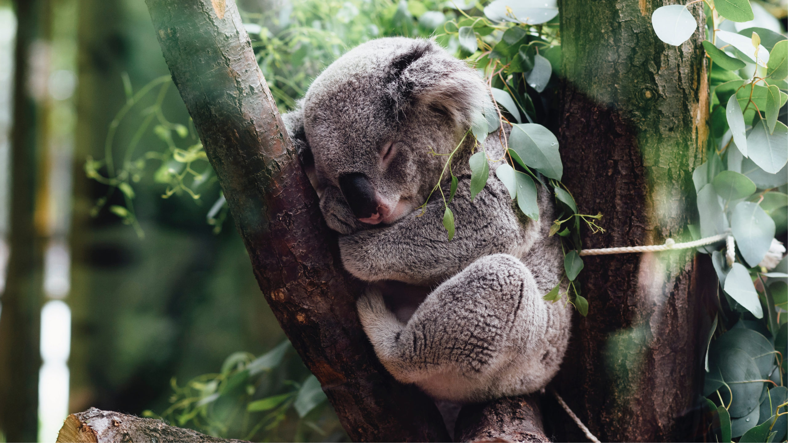 Población de koalas cae 30% por incendios, deforestación y 'sida'