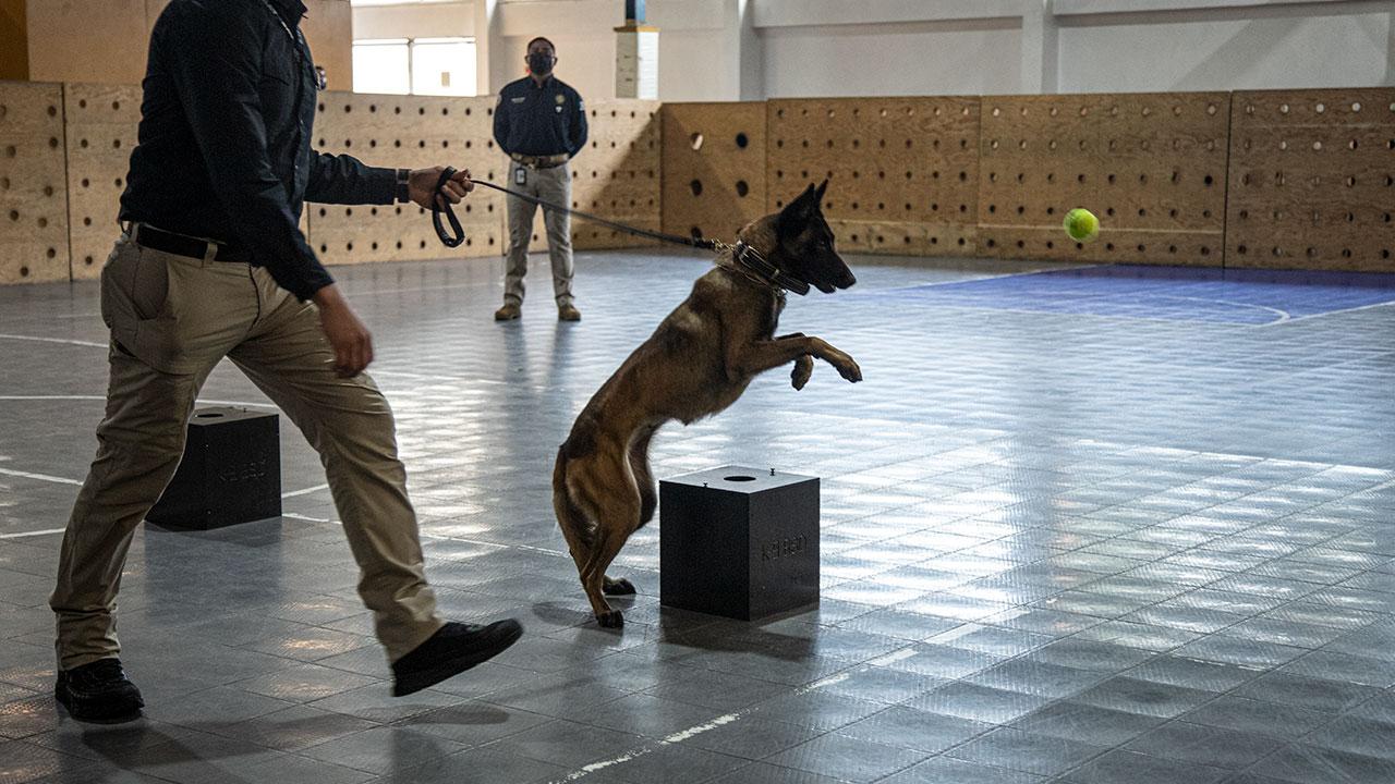 Un ejército de 500 perros detectará cocaína, mariguana y armas en las aduanas