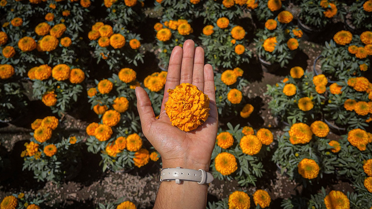 Fotogalería: La flor de cempasúchil vuelve a florecer después de la pandemia