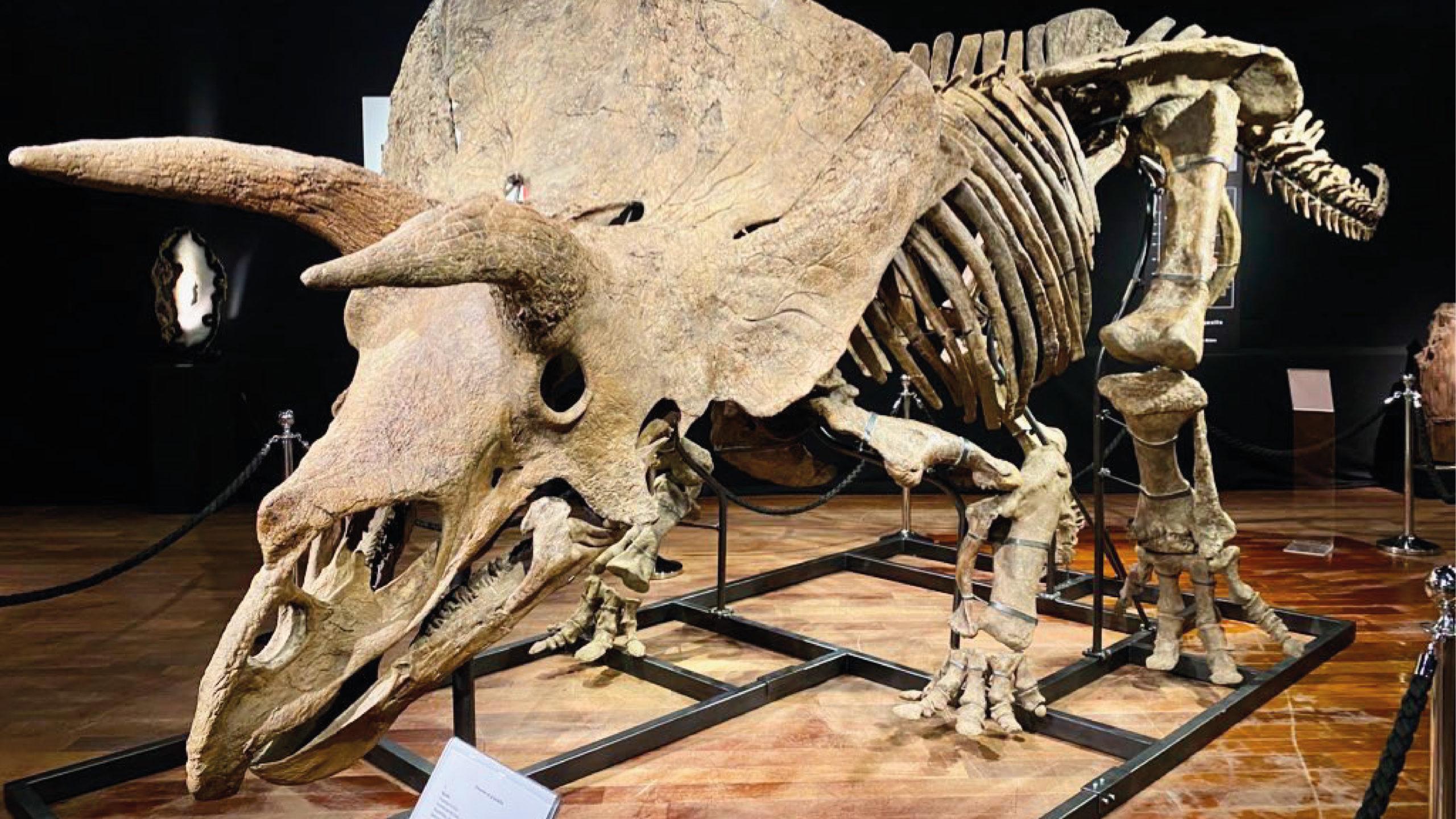 Subastan restos fósiles del mayor dinosaurio triceratops conocido por 6.65 mde