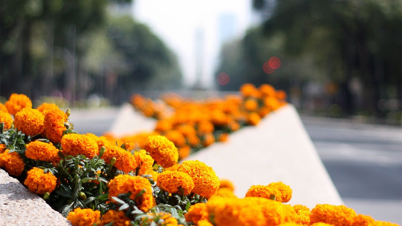 Xochimilco espera venta de 100 mdp por flor de cempasúchil