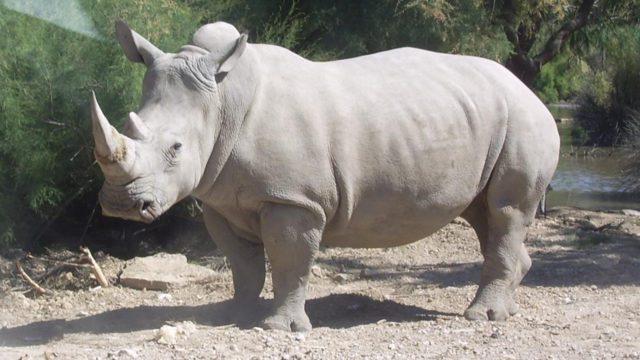 Uno de los dos últimos rinocerontes blancos del norte es retirado del plan para salvar la especie