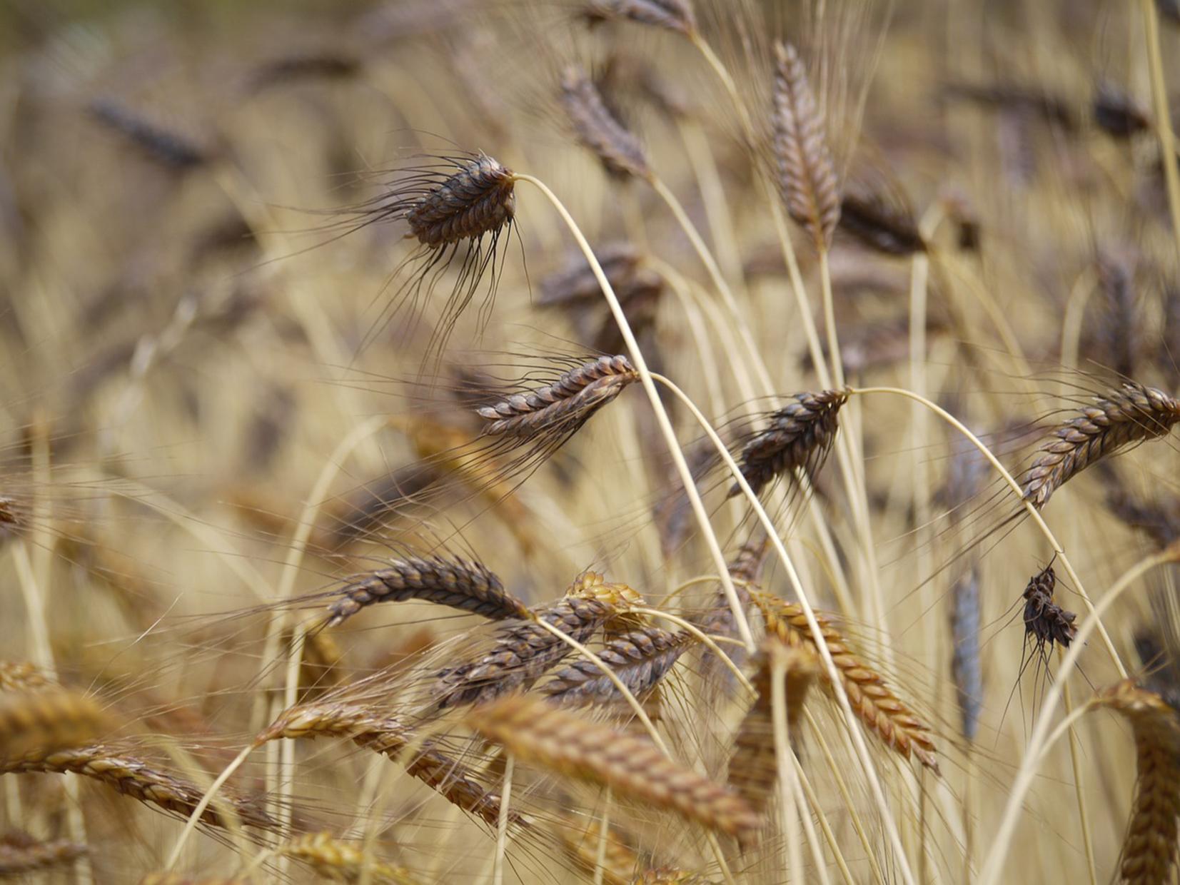 Productores de cebada quieren que Grupo Modelo les pague más